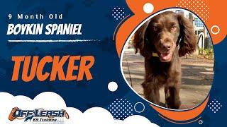 9 month old Boykin Spaniel TUCKER | 2 Week Board and Train | Off Leash K9 Training Greenville SC LLC