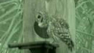 Barred Owl - Visits Nest Box