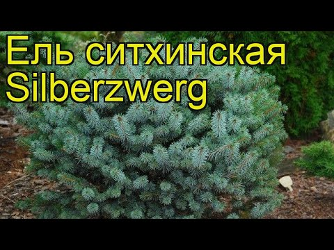 Ель ситхинская Зилберзверг. Краткий обзор, описание характеристик Picea Sitchensis Silberzwerg
