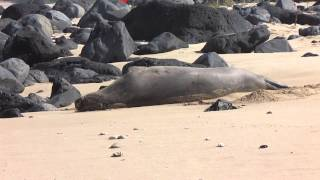 Hawaiian Monk Seal 912