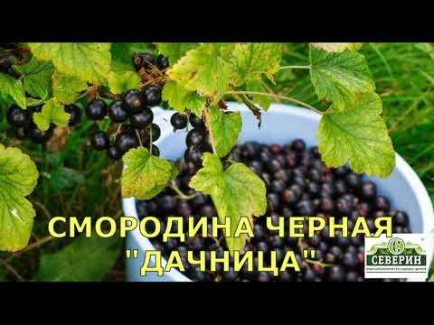 Покупаем лучшие крупноплодные сорта чёрной смородины