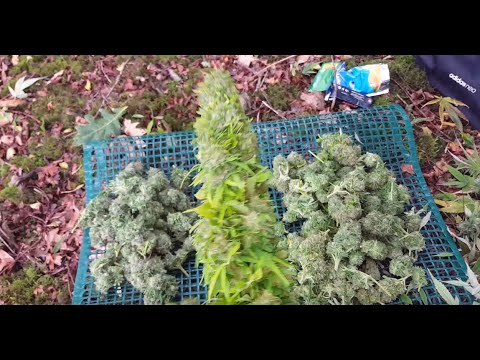 outdoor cannabis guarrilla grow uk harvest poxy weather