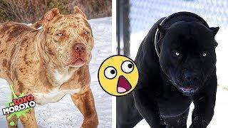Las 7 Razas de Perros MÁS LETALES que EXISTEN   DeToxoMoroxo