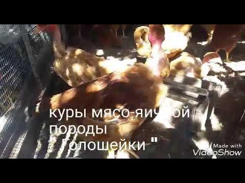 Мясо-яичная порода кур Голошейки. Отличительные особенности.
