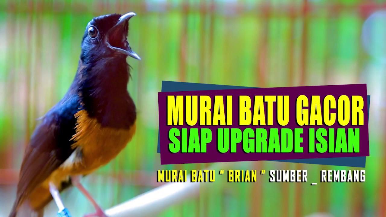 Murai Batu Gacor Full Isian Cocok Untuk Upgrade Isian Murai Bahan Shama Bird Singing Youtube