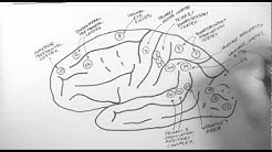 Brain Anatomy 2 - Functional Cortical Anatomy (Lateral Surface)