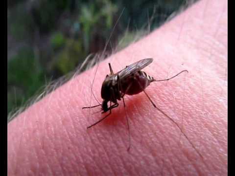 Вопрос: Зачем комары сосут кровь?