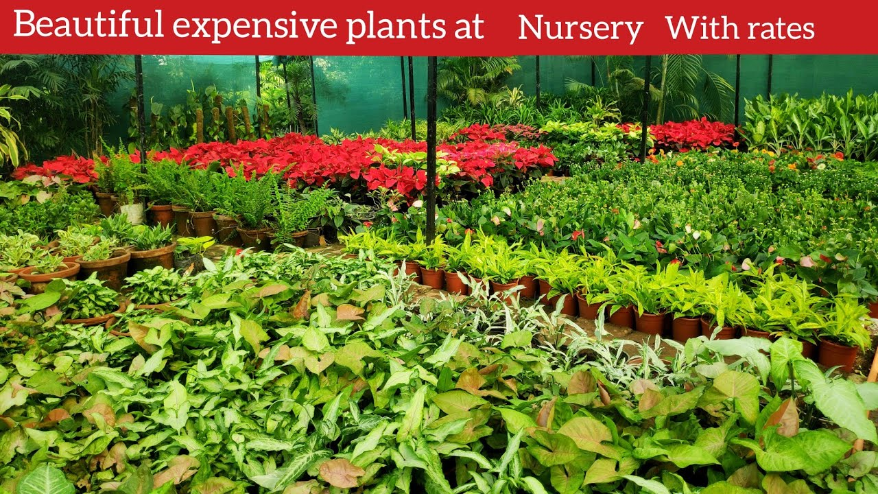 Nursery rare luxurious expensive plants with rates, August monsoon nursery visit, indoor plant price