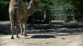 Denver Zoo Dromedary Camel