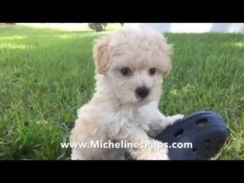 gorgeous-maltipoo-pups-that-are-trained-and-started-right-for-you!