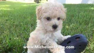 Gorgeous Maltipoo Pups that are trained and started right for you!