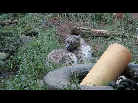#6 Sep 2017 Snow leopard at Tama zoo, Tokyo, Japan