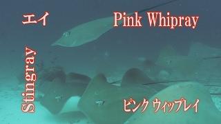 Pink Whipray エイの大群 ピンクウィップレイ Pink Stingray Stingray