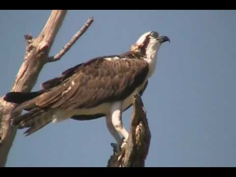 Identification Of Bird Of Prey The Osprey Devouring Eating Live Fish At Circle B Bar Reserve Youtube
