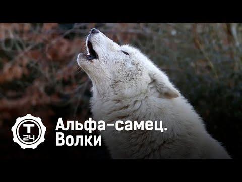 Вопрос: Могут ли волки восстановить природный баланс в природе?