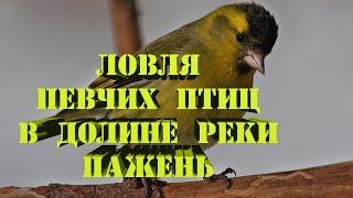 Ловля певчих птиц в Долине Реки Пажень. СоМ_Елец