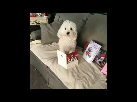 BUDDY'S CHRISTMAS MORNING *FUNNY DOG VIDEOS*  BICHON PUP