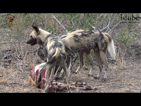African Painted Dogs Leave A Meal For The Vultures