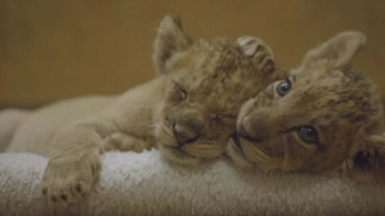 Cute lion cubs sleeping and being bottle-fed at San Diego ...