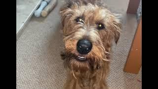Chatty Irish Terrier
