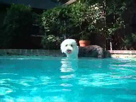 Dog Swimming Pool Video