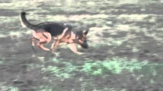 Подготовка к сдаче собакой ОКД