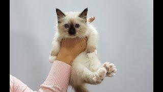 Презентация котенка Священная бирма ЛЕОНАРД ВАЙТ ПАВС