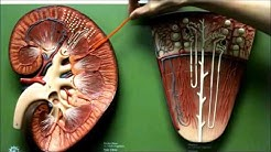 hqdefault - Renal Papilla Of The Kidney