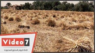 بالفيديو.. الفلاحون يشتكون من عدم قدرتهم على توريد القمح وتجاهل المسؤولين