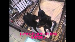 ボブテイルシュウ東京店にいるトイマンチェスターテリアの子犬2匹のご...