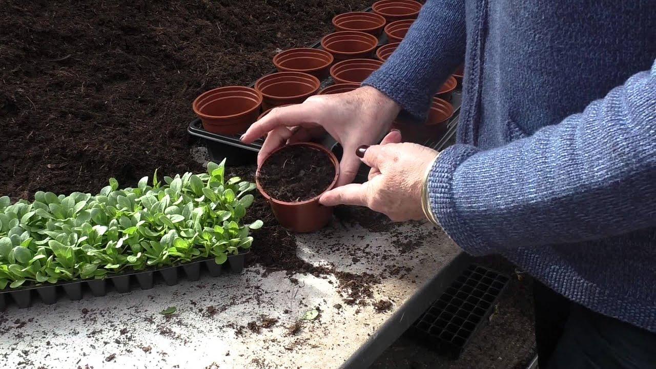 3 4 Plugs >> How to: Potting up Plug Plants - YouTube
