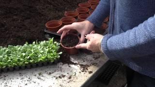 how to potting up plug plants