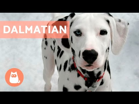 All About the DALMATIAN - Traits and Training!