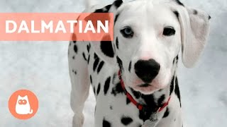 All About the DALMATIAN - Traits and Training
