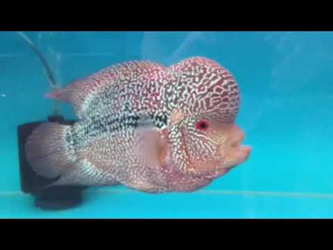 9th Fish-Hub Competition 2016 Flowerhorn Unity Class 1 Cat A