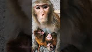 Twin baby carryings🐒❤️ Monkey Smile #short
