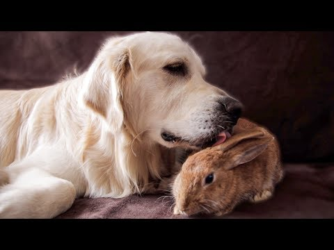 Dog Takes Care of a Pregnant Rabbit