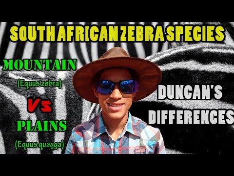 South African Zebra Species   Mountain vs Plains   Duncan's Differences