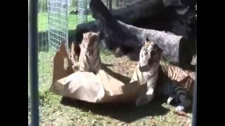 Cats loves box Почему коты так любят коробки