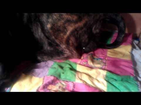 english-mastiff-giving-birth.