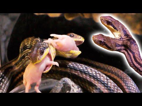 2つの頭を持つヘビがネズミ2匹を同時食い! twin head snake eat two mouse