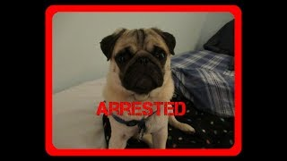 Gus The Pug Gets Arrested And Then Escapes Roblox Jailbreak