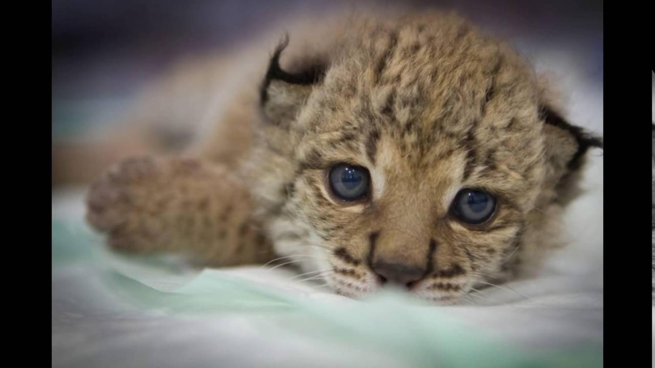 Le Lynx Un Animal Magnifique Mais En Voix De Disparition