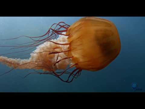 Your Earth Is Blue: The Pacific Sea Nettle