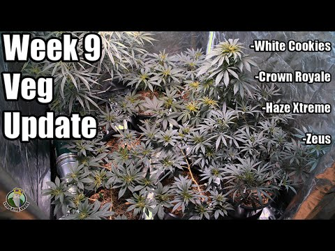 Week 9 VEG Update - Crop King Seeds