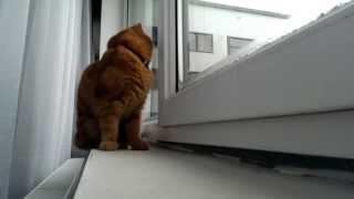 Exotic shorthair kitten chasing snowflakes | Meet Moto