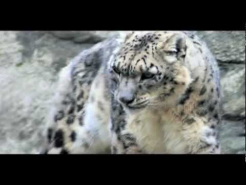 A Snow Leopard's life (Samwise Chang wildlife)