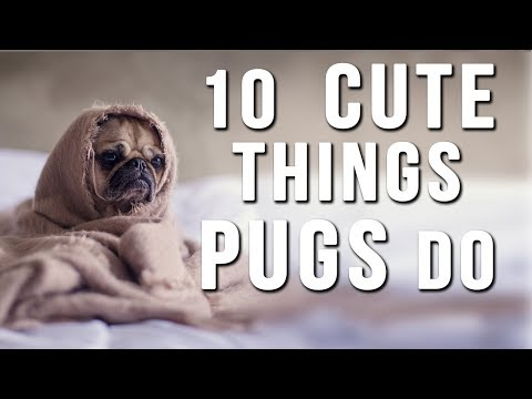 Best FUNNY and CUTE PUGS of 2016 - Love this!