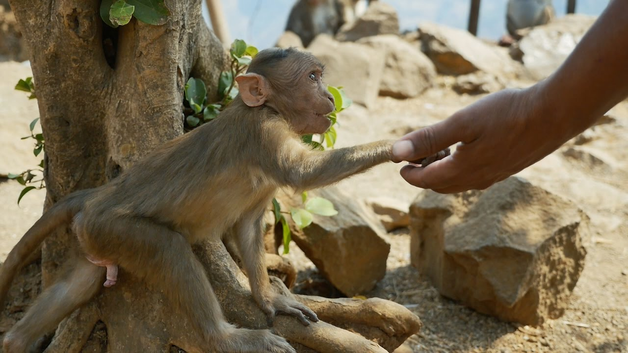 Funny Monkey baby Video || Bandar ka baccha || Comedy