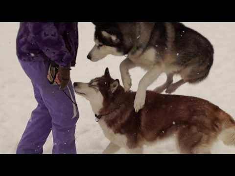 Three huskies and dog tricks / Три хаски и трюки